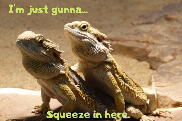 An image of some of the most popular and best pet reptiles: The bearded dragons