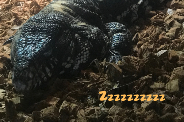 12 of the Best Reptiles to Keep as Pets - UrbanReptiles
