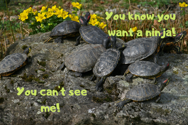 Image of red-eared sliders grouping up together in the sun