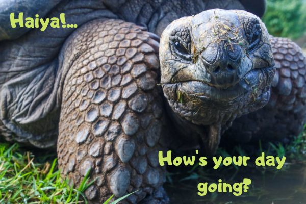 Russian tortoise asking how your day is going