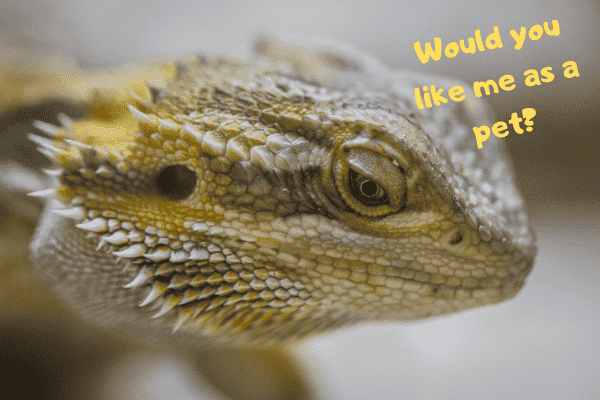 Bearded dragon asking if you would like them as a pet.