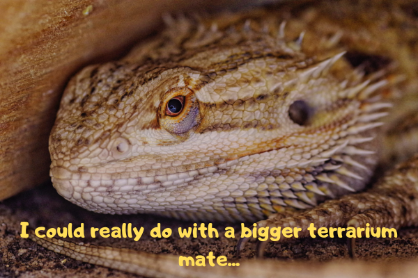 Image of a bearded drag dragon telling his owner that his enclosure is too small