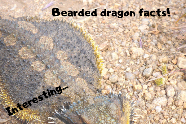 """An image with the headline: """"bearded dragon facts"""""""