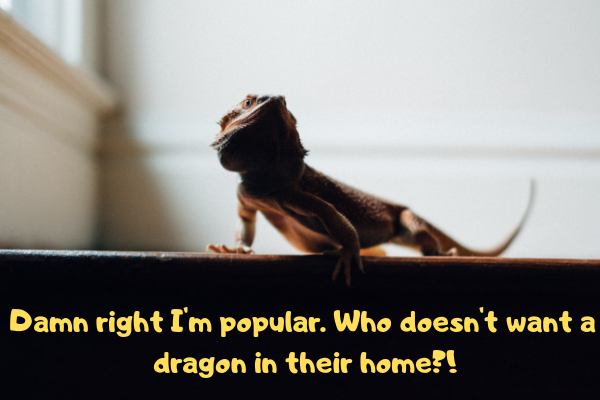 """A bearded dragon asking: """"Who doesn;t want a dragon in their home?!"""""""