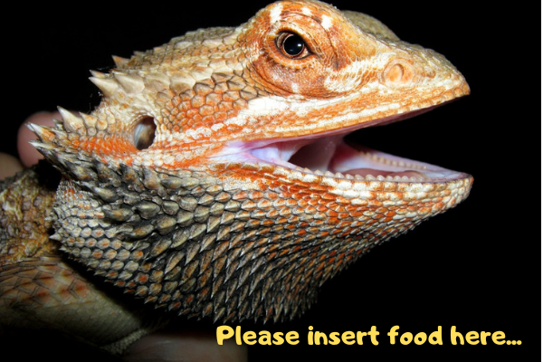 An image of a bearded dragon teaching you how to feed bearded dragons
