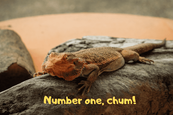 Best Pet Lizards Lizards You Want To Have As A Pet Urbanreptiles