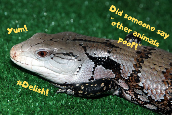 Blue tongue skink talking about how he loves to eat animal poo