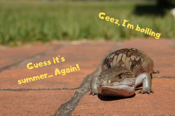 Image of a blue tongue skink complaining about the heating