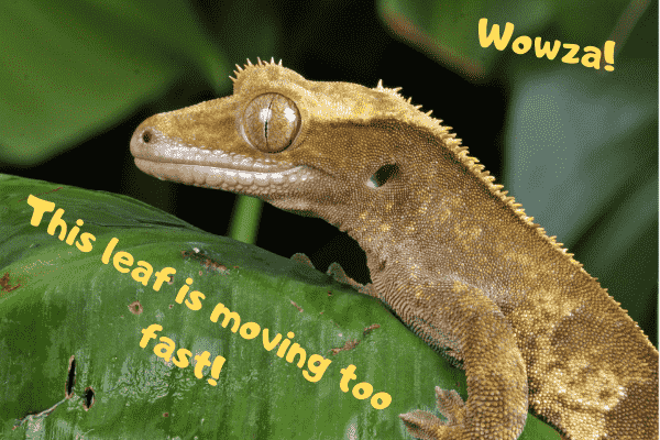 Image of a crested gecko