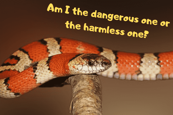 King snake asking if he's the dangerous or harmless one