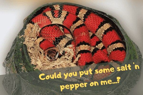A snake asking its owner to put some salt and pepper on it before it eats itself