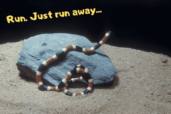 Coral snake telling people to run away
