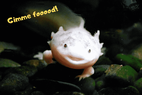 Axolotl telling his owner to give him food