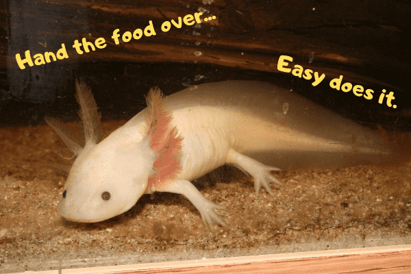 Axolotl telling owner to hand the food over, nice and slow.