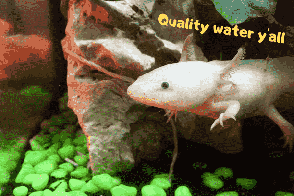 Image of an axolotl that's happy with its water quality