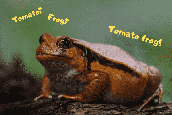 Image of a pet tomato frog