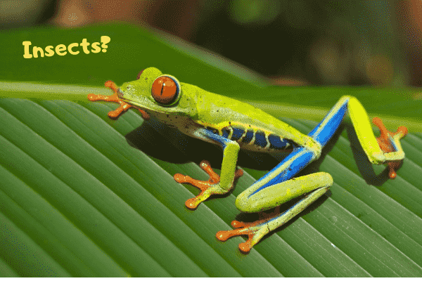 Image of a pet red eye tree frog