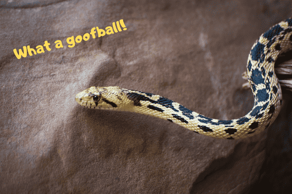 Image of a gopher snake