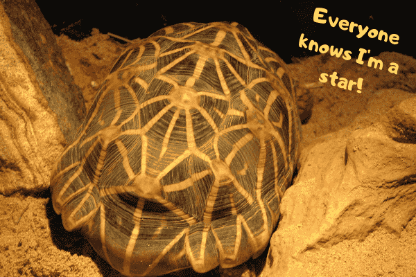 Image of an Indian star tortoise