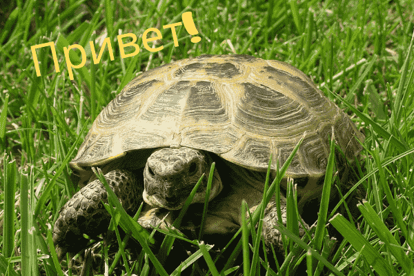Image of a Russian tortoise