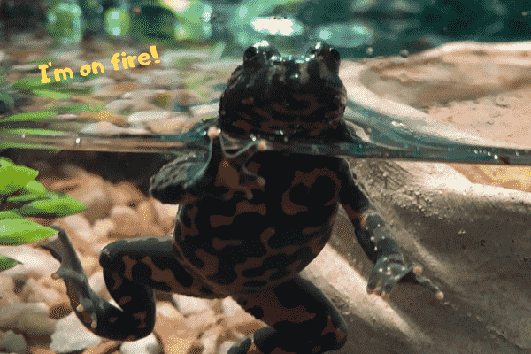 Image of a pet fire belly toad