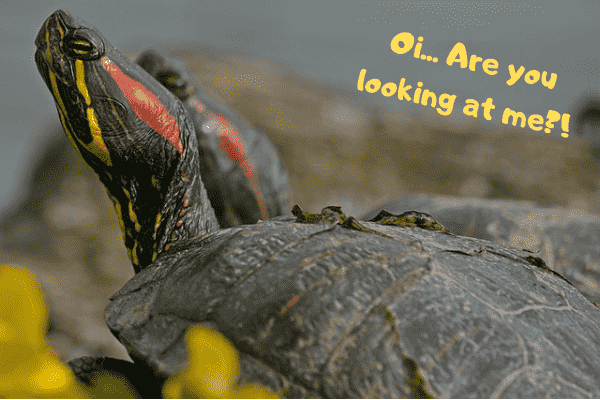 Image of a red-eared slider asking if you are looking at him.