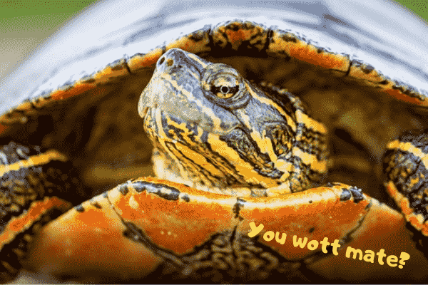 Image of a tough painted turtle.