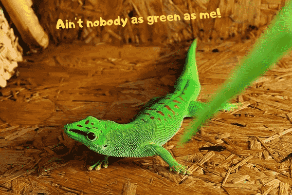 Image of a giant day gecko, another one of the best pet geckos available as pets.