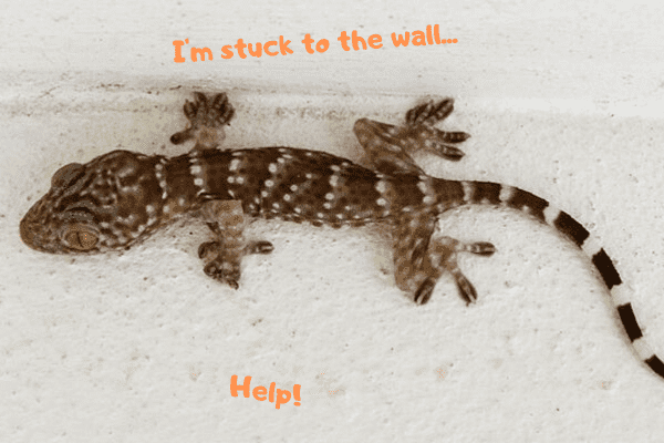 Image of a Tokay gecko stuck to a wall