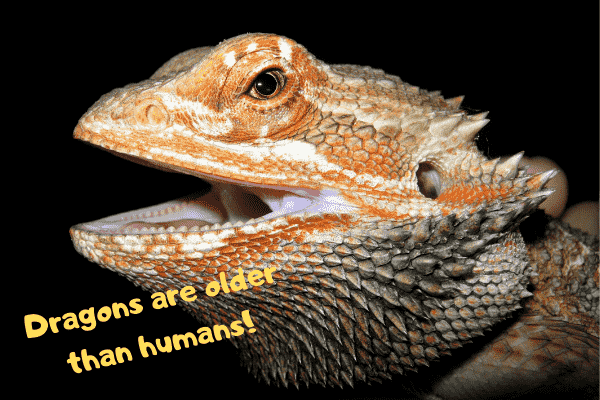 Bearded dragon stating that dragons are older than people