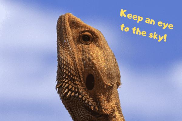 "Bearded dragon saying ""keep and eye to the sky."""