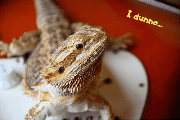Bearded dragon saying that he doesn't know why he has a third eye