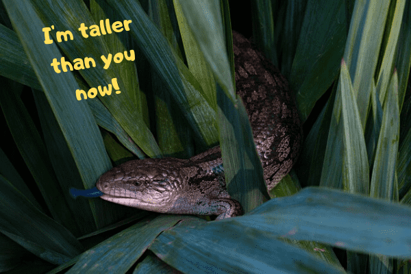 Blue tongue skink saying he's taller than you