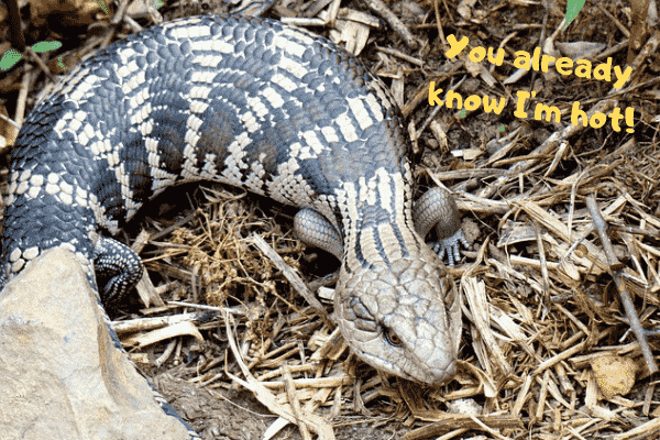 Blue tongue skink telling everyone they are hot.