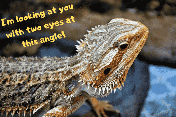Bearded dragon saying that he is looking at you with two eyes due to its third eye on the top of its head.