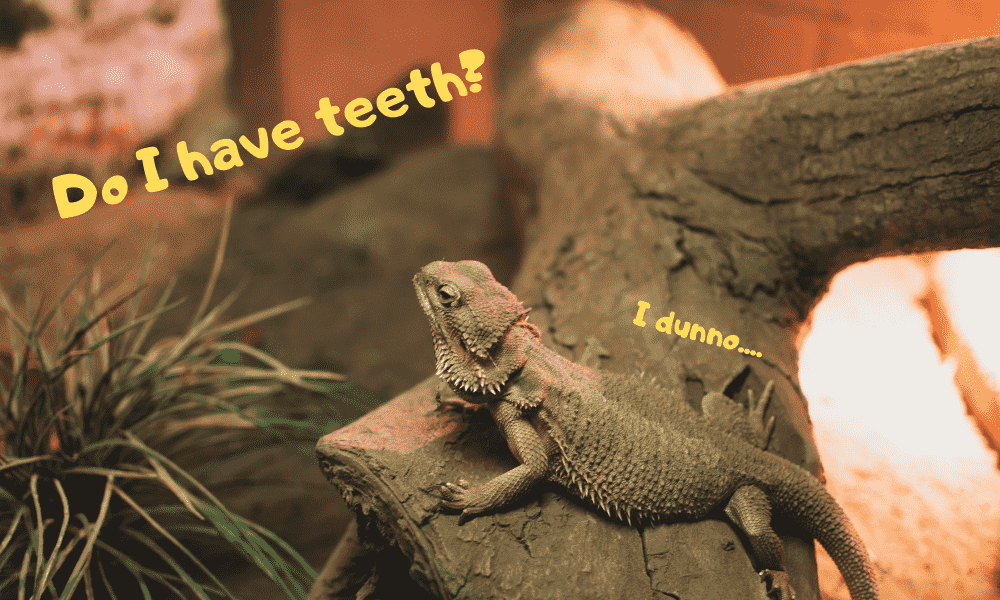 Image of a bearded dragon wondering whether he has teeth or not.